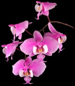 Phalaenopsis_Orchids_(Moth_Orchids)